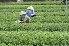 Hanoi, Vietname - 28 de agosto de 2015: Fazendeiros asiáticos da mulher que colhem o vegetal no campo cultivado agrícola no subúr Fotografia de Stock Royalty Free