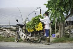 Hanoi, Vietname - 28 de agosto de 2015: A jovem mulher carrega a flor amarela da margarida na motocicleta após a colheita para en Imagens de Stock Royalty Free