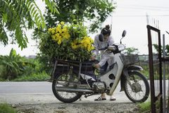Hanoi, Vietname - 28 de agosto de 2015: A jovem mulher carrega a flor amarela da margarida na motocicleta após a colheita para en Fotos de Stock