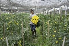 Hanoi, Vietname - 28 de agosto de 2015: A jovem mulher colhe a flor amarela da margarida na terra cultivada nos subúrbios de Hano Imagens de Stock