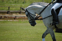 Hanover horse competition. A white mare during the competition stock photography