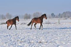Hanoverian马在冬天 免版税库存图片