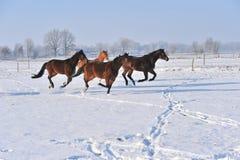 Hanoverian马在冬天 库存图片