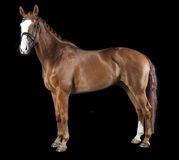 Hanoverian chestnut horse Royalty Free Stock Image