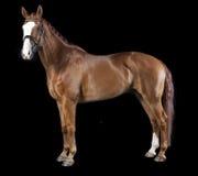Hanoverian chestnut horse Royalty Free Stock Image