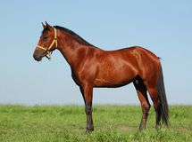 Hanoverian chestnut stallion Stock Image