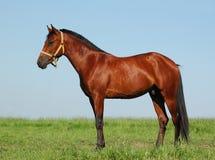 Hanoverian chestnut stallion Stock Image