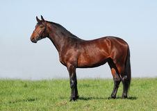 Hanoverian chestnut stallion Stock Images