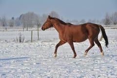 Hanoverian häst i vinter Arkivfoton