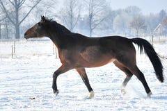 Hanoverian häst i vinter Fotografering för Bildbyråer