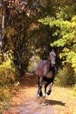 Hanoverian hästgalopp i höstträn Arkivbilder