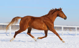 Hanoverian horse running on snow manege. Sorrel horse running on snow manege Royalty Free Stock Photography