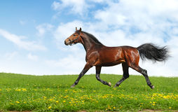 Hanoverian horse trots. Realistic photomontage Royalty Free Stock Images