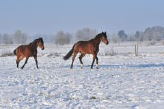 Hanoverian horses in winter. Lower saxonie Royalty Free Stock Image