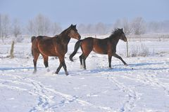 Hanoverian horses in winter Royalty Free Stock Photography