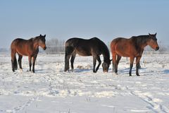 Hanoverian horses in winter Royalty Free Stock Image