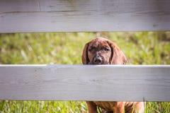 Hanoverian hound peeking through rails of a fence Stock Images