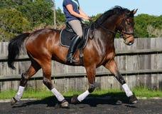 Hanoverian häst i dressyrarena Arkivbild