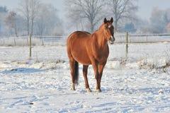 Hanoverian häst i vinter Arkivbild