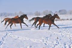 Hanoverian hästar i vinter Fotografering för Bildbyråer