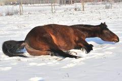 Hanoverian koń w zimie Zdjęcia Royalty Free