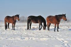 Hanoverian konie w zimie Obraz Royalty Free
