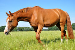 Hanoverian mare Royalty Free Stock Images