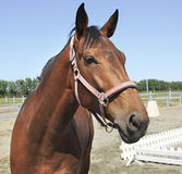 Hanoverian mare breed. Beautiful portrait Royalty Free Stock Image