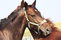 Hanoverian mare breed. Beautiful portrait Stock Image