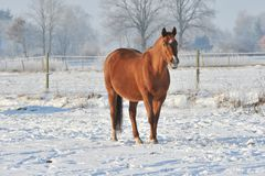 Hanoverian Pferd im Winter Stockfotografie