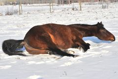 Hanoverian Pferd im Winter Lizenzfreie Stockfotos