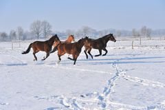 Hanoverian Pferde im Winter Stockbilder