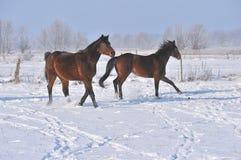Hanoverian Pferde im Winter Lizenzfreie Stockfotografie