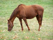 Hanoverian Race Horse Stock Image