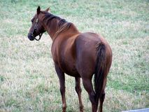 Hanoverian Race Horse. In field Stock Photo