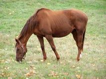 Hanoverian Rennen-Pferd Stockbild