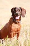 Hanoverian Scenthound, собака сидя и ждать в поле Стоковое Фото