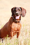 Hanoverian Scenthound, dog sitting and waiting in the field Stock Photo