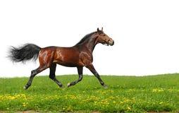 Hanoverian stallion trots. Isolated on white Stock Photos