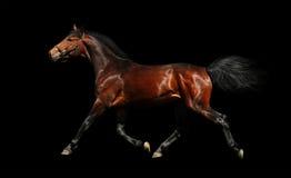 Hanoverian stallion trots. Isolated on black Royalty Free Stock Photography