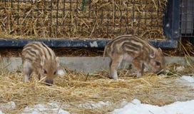 hans mjölka moder, en som piglets diar två Europeisk vildsvinspädgris med band Royaltyfri Bild