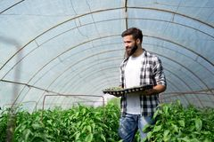 Young worker planting a tomatoes seedling in a greenhouse. Hansome young worker planting a tomatoes seedling in a greenhouse Royalty Free Stock Photography