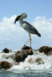 Hanter. Successfull day for the heron on Maldives Stock Image