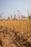Hantera unga risväxter i mycket torrt och sprucket risfältfält arkivfoton