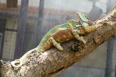Hantera vieldkameleonten på trädfilial i regn royaltyfria bilder