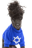 Hanukkah Sweater. A poodle, isolated on a white background, wears a blue sweater to celebrate Hanukkah Royalty Free Stock Images