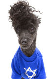 Hanukkah Sweater On Poodle. A poodle, isolated on a white background, wears a blue Hanukkah sweater