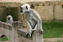 hanuman叶猴 免版税库存照片