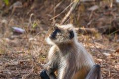 hanuman обезьяна langur Стоковые Изображения RF