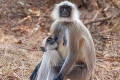 hanuman обезьяна langur Стоковое фото RF
